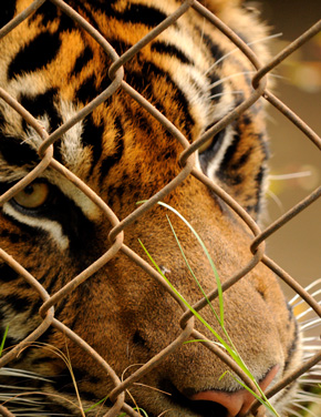 Tiger behind Chainlink Fence